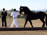 Wow Friesian Horse Available Here