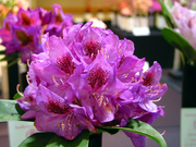 Bueatiful Rhododendrons Shipped to your Door!